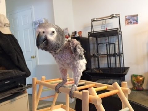African Grey Parrot Playing With The Toy I Invented