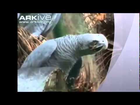 grijzeroodstaart papegaai palmnoten
