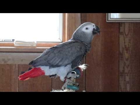 Poppy the African Grey's best talking video Part II