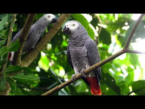 2 Hours African Grey Parrot Sounds Effects